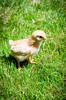 Baby Chickens-9 (sammycj2a) Tags: chick chickens backyardfarm farm chicks pullets straightrun backyard nikon nikkor lightroom
