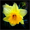 Natural Wonder (dimaruss34) Tags: newyork brooklyn dmitriyfomenko image flower daffodil