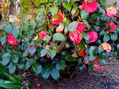 Camellia in Bloom (dimaruss34) Tags: newyork brooklyn dmitriyfomenko street flowers camellia spring