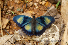 Euphaedra crockeri (Hiro Takenouchi) Tags: ghana butterflies butterfly schmetterling papillon nature insect africa wildlife nymphalidae nymphalid limenitidinae adoliadini euphaedra