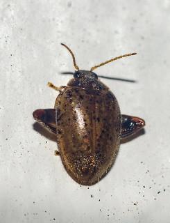 Ora cf. complanata - Flea Marsh Beetle (Guérin-Méneville, 1861)