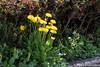 (takafumionodera) Tags: dandelion flower japan miyagi pentax q7 sendai タンポポ 仙台 宮城 花