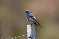 Codirosso spazzacamino _011 (Rolando CRINITI) Tags: codirossospazzacamino uccelli uccello birds ornitologia varainferiore natura