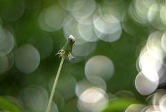 Taraxacum officinale (Torok_Bea) Tags: carlzeissplanar carlzeiss nikon nikond5500 marco flowers taraxacumofficinale home bokeh planar manualobjektív carlzeissplanar14