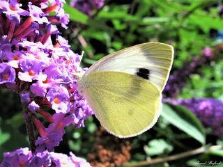 Butterfly 1657