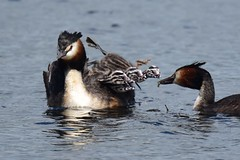 Food glorious food, we're anxious to try it! (ChrisPy63) Tags: silverdale lancashire nature nikond7200 nikon uk britishcountryside outside rspbleightonmoss spring water britishbirds greatcrestedgrebe grebes food