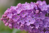 make a wish (margycrane) Tags: lilac bez życzenie wiosna kwiaty fiolet