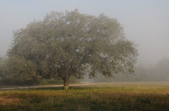 Lone Tree in the Mist (Autophocus) Tags: oak tree branches twigs leaves foliage vegetation forest woods wood nature mist light solitary solitude field grass wildflowers