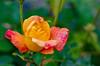 The Rose after the Rain (rockheadz) Tags: rose flower nature natur garden garten rain regen regentropfen raindrops green grün blätter