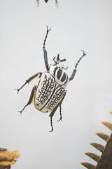 Big beetle (quinet) Tags: 2017 canada ontario rom royalontariomuseum toronto museum musée naturalhistory 124