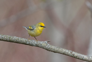 Gold wing Blue winged warbler hybrid