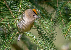 JWL5642  Goldcrest.. (jefflack Wildlife&Nature) Tags: goldcrest goldcrests birds avian animal animals wildlife wildbirds wetlands woodlands songbirds gardenbirds glades trees farmland forest heathland hedgerows heathlands countryside copse nature ngc npc coth5