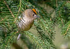 JWL5642  Goldcrest.. (jefflack Wildlife&Nature) Tags: goldcrest goldcrests birds avian animal animals wildlife wildbirds wetlands woodlands songbirds gardenbirds glades trees farmland forest heathland hedgerows heathlands countryside copse nature