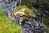 Big turtle (thomasgorman1) Tags: turtle nikon sea seaturtle water ocean cove lagoon carlsmith hawaii closeup portrait green nature