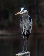 The human pose! (anniebevilacqua) Tags: oiseau bird oiseaudeau waterbird grandhéron greatblueheron ardeaherodias jardinbotaniquedemontréal