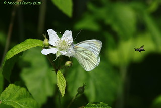 Der Schmetterling und die Fliege - The Butterfly and the Fly