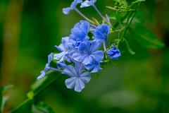 Flowers at Brookside Gardens (John Brighenti) Tags: flowers brookside gardens wheaton maryland md sony alpha a7 flower plant plants petals green leaves spring