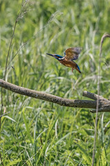 Fisher in flight (iantaylor19) Tags: kingfisher brandon marsh warwickshire wildlife trust