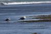 IMG_8922 (armadil) Tags: mavericks beach beaches californiabeaches bird birds gull gulls
