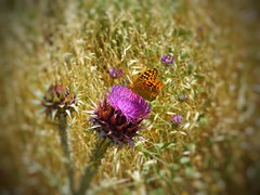 The flower and the butterfly (panoskaralis) Tags: flower wildflowers wildplants cactus insect bugs butterfly macro colorful nature nikon nikoncoolpixb700