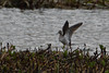 Just Landed. (stonefaction) Tags: wood sandpiper birds nature wildlife loch kinnordy kirriemuir angus scotland