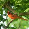 Northern Cardinal, May 21, 2018 (gurdonark) Tags: bird birds wildlife northern cardinal ar schell park plano texas