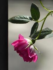 For Aya (fungom) (fotomie2009) Tags: spring primavera rosa rose pink fiore flora flower dedicace dedication