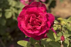 Rose in Tarragona, Catalonia, Spain (Ingunn Eriksen) Tags: rose flower tarragona nikond750 nikon
