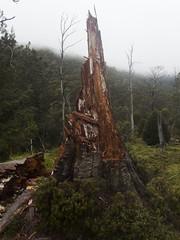 Old tree stump (Baractus) Tags: john oates rodney creek snake hill national park cradle mountain np tasmania australia old tree stump pine inala nature tours