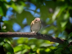 Red-eyed Vireo (Goggla) Tags: governorsisland redeyed vireo nyc new york governors island urban wildlife bird spring migration red eyed