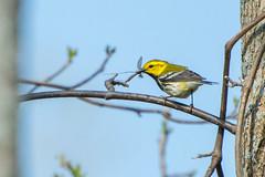 Spring Birds! (hmthelords) Tags: blackthroatedgreenwarbler