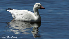 Oie des neiges, 18 mai 2018 _______ Snow Goose / Chen caerulescens (lacostejm) Tags: zoneimportantespourlaconservationdesoiseaux refugedoiseauxmigrateurs rom zicoqc128 zico zicoquébec refuged'oiseauxmigrateurs refugedoiseauxmigrateursdelîleauxhérons fleuvestlaurent rapidesdelachine secteurdoiseauxmigrateurs lasalle migrationbirdsanctury naturequébec migratorybirdsconventionact loide1994surlaconventionconcernantlesoiseauxmigrateurs lanatureenville héritagelaurentien amisduparcdesrapides verdun bergesdustlaurent lefleuvesaintlaurentungéantfragile magixvidéodeluxepremium cananpowersx60 oiedesneiges