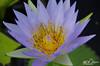 FLOR_DE_LOTUS_ENTRE_LAGOS_MOÇAMBIQUE (paulomarquesfotografia) Tags: paulo marques pentax k5 18135mm flor lotus flower macro bokeh