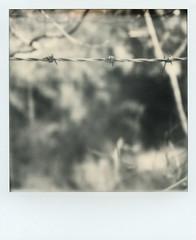 barbs (Skink74) Tags: bwsx70 england film hampshire hursley impossibleproject instant polaroid sx70 sx70alpha1se uk barbedwire fence mono bw impossible roidweek polaroidweek2018 myopia