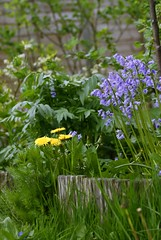Dandelions and I'm not a botanist. (husseinHr) Tags: garden flower flowers nature dandelion dandelions canon