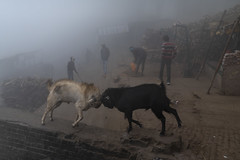 At Varanasi (Ravikanth K) Tags: 500px varanasi kasi india winter fog goat sheep fighting ram animals ghat morning playing ganga outdoor blackandwhite manikarnika cwc cwc623 chennaiweekendclickers travel dailyscene mist