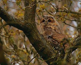 Fledgeling Tawny Owl