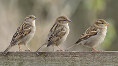 Three sparrows (NikonNigel) Tags: copyright©nigelcox copyrights sparrow