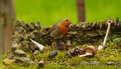 robin (1) (Simon Dell Photography) Tags: robin red breast bird nature wildlife uk sheffield garden old english country spring cute funny model micro cottage stone wall grind simon dell photography 2018 april summer