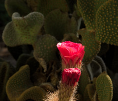 Opening Trichocereus bud by the Cafe, Tucson Botanical Gardens (Distraction Limited) Tags: tucsonbotanicalgardens tucsonbotanical botanicalgardens gardens tucson arizona tbg20180427 trichocereushybrid trichocereus echinopsis cactus flowers flowerbuds buds cafébotanica cactusandsucculentgardens cactussucculentgardens