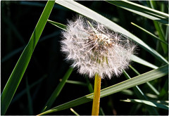 In a Triangle of Grass (Explore #344, May 2, 2018) ... (Irene, W. Van. BC) Tags: inatriangleofgrass grass green greenery dandelion triangle outdoors outdoorscenes outlines fluffy park parkscenes spring springscenes springpetals springplants springblooms fluffyplants gonetofluff seeds gonetoseed 1001nights 1001nightsmagiccity 1001nightsmagicgarden explored invitedtoexplore