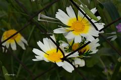 Entre rejas (Anavicor) Tags: plant planta flor flower blume fleur margarita daisy reja telametálica silvestre primavera spring wild nikon d5300 tamron16300mm anavillar villarana anavicor