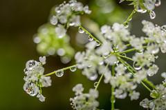 It's Raining Umbellifers! (Lindsey1611) Tags: rushmeresaintandrew england unitedkingdom gb umbellifer umbelliferwednesday cowparsley spring raindrops rain april