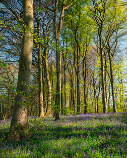 Bluebells and Sunshine