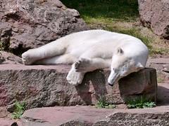 Vera - Charlotte - Eisbären - Tiergarten Nürnberg (ElaNuernberg) Tags: eisbärcharlottealiaslottchen eisbärvera tiergartennürnberg zoo zootiere zooanimals eisbär polarbear ijsbeer isbjorn jääkaru ursusmaritimus ourspolaire orsopolare niedźwiedźpolarny