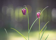 Twice the beauty.. (Bomonsted) Tags: bokeh bokehlicious fritillaria contax carlzeiss sonnar t 180mmf28