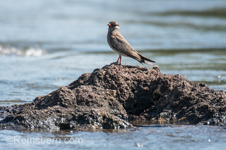 Rock pratincole (Glareola nuchalis) stands on mound of dirt in river, Chobe National Park - Botswana