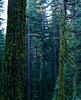 Pinecrest Lake (bior) Tags: sierranevada sierramountains forest trees moss velvia fujifilmvelvia slidefilm pentax645nii 6x45cm mediumformat pinecrest pinecrestlake