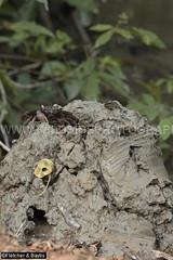 41276 A Tree Climbing crab (Episesarma sp) occupying the burrow in the volcano-like mound made by a Mud Lobster (Thalassina sp) in mangrove wetlands, Kuala Selangor Nature Park, Selangor, Malaysia. (K Fletcher & D Baylis) Tags: wildlife animal fauna crustacea decapoda thalassinidae thalassina mudlobster crab treeclimbingcrab vinegarcrab episesarma mudmound mangrove mangrovewetlands kualaselangornaturepark selangor malaysia asia april2018