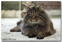 Alonso de Khazad-Dûm (s.vanir) Tags: cat norwegian forest breeder skogkatt